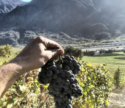 Vendemmie - Grosjean Vini Biologici in Valle d'Aosta